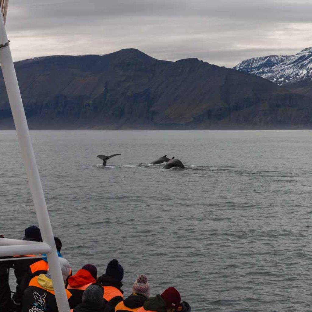 Ballenas en Islandia